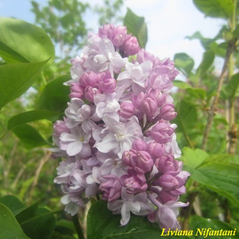 Syringa vulgaris Katherine Havemeyer Lillà 2